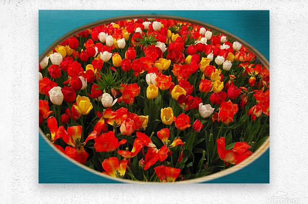 Parade of Tulips  Metal print