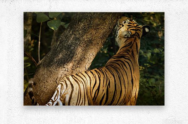 Indian Tiger  Metal print