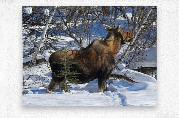 Hungry Moose  Metal print
