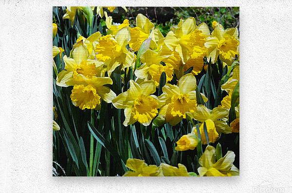 Yellow Daffodils wc  Metal print
