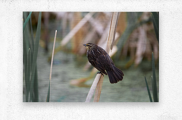 Female redwing blackbird on cat tail  Metal print