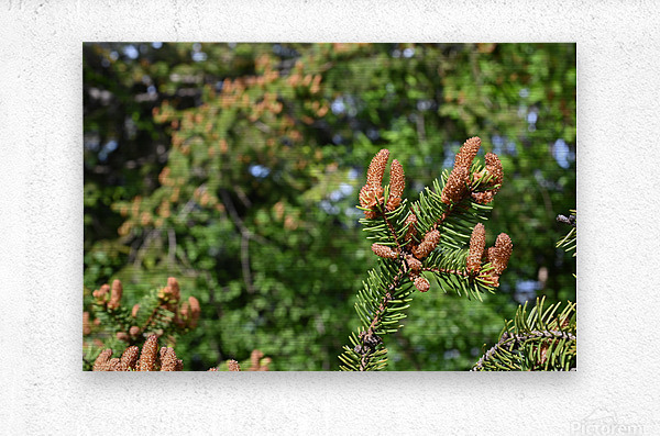 Spruce twig and background  Metal print