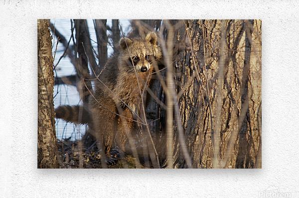 Racoon peeking through twigs  Metal print
