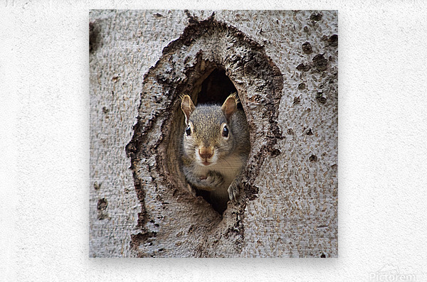 Squirrel in tree hole  Metal print