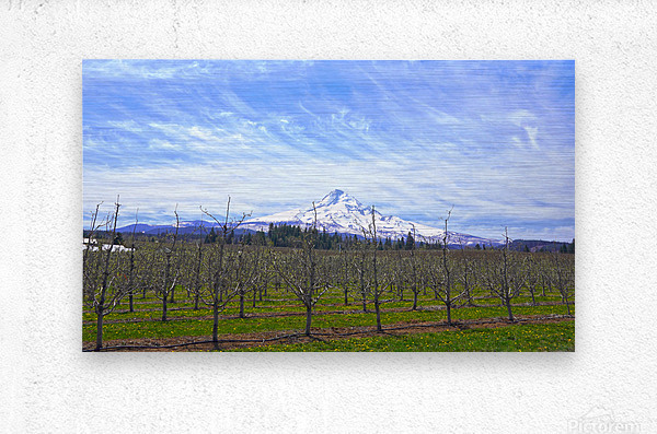 Spring at the Orchards  - Mount Hood - Oregon  Metal print