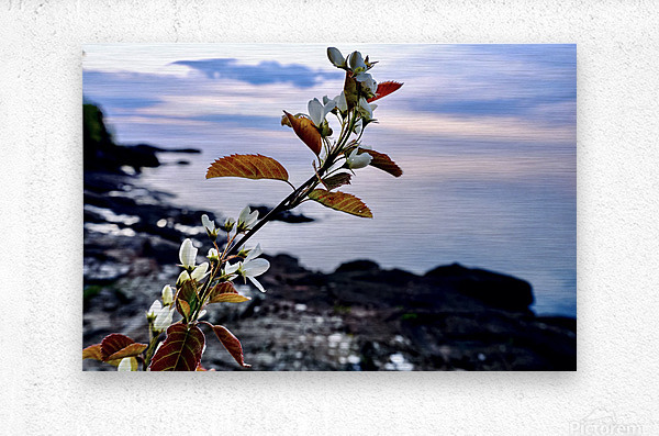 Flower on the Shoreline  Metal print