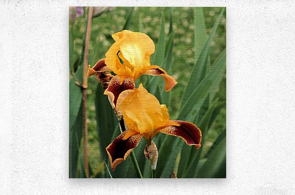 Yellow Brown Iris  Metal print
