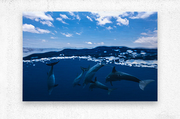 Between air and water with the dolphins  Metal print