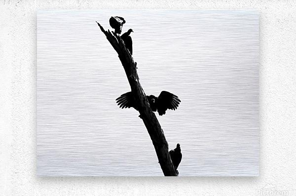 Vultures  Metal print