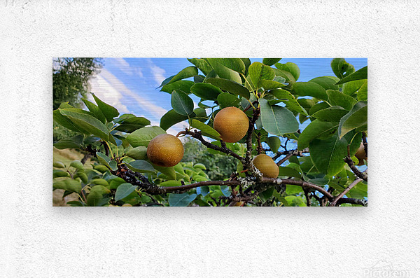 Asian Pears  Metal print