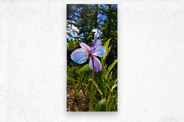 Poppy Blue  Metal print