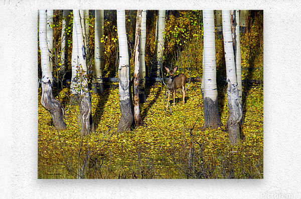 Baby Deer in Old Aspen Trees  Metal print