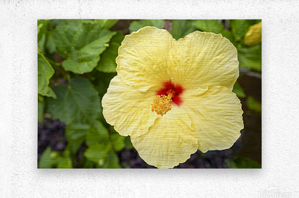 Yellow Hibiscus Tropical Flower Hawaii  Metal print