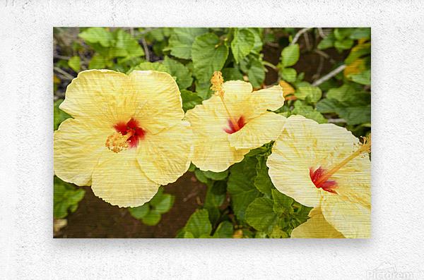 Hibiscus Trio   Tropical Flowers Hawaii  Metal print