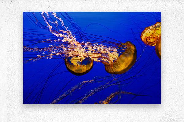 Monterey Jellyfish  Metal print
