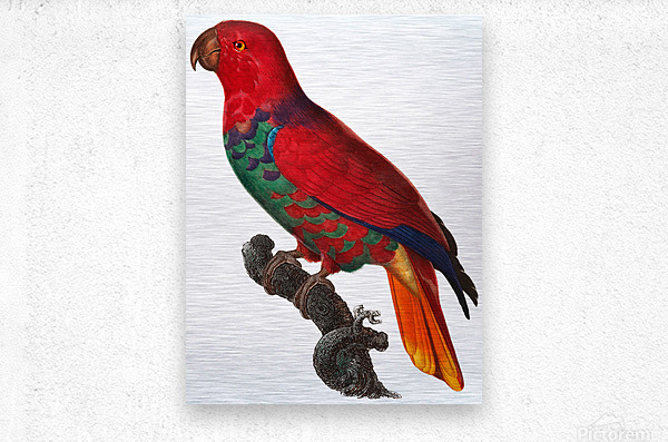 Parrot Print Antique Space Painting Vintage Drawing Poster Wall Art Eclectus Parrot Vintage parrot print Parrot Poster Print   Metal print