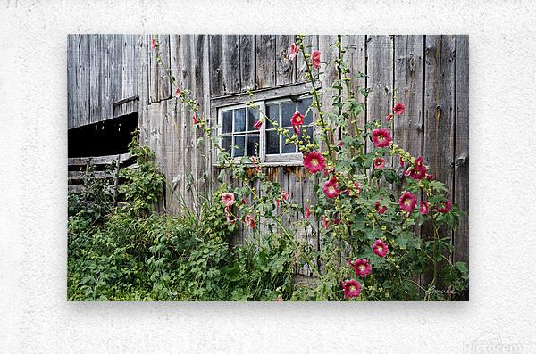 Roses tremieres embellies par une vieille grange - Hollyhocks embellished by an old barn  Metal print