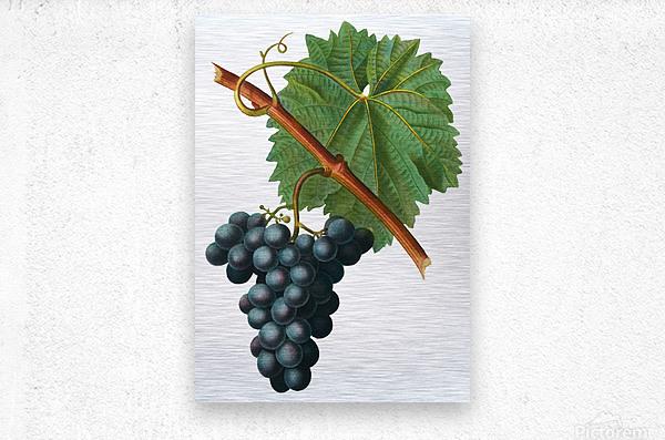 Grape Spanna Antique Art Kitchen Art Grapes Vintage Grapes Pic Grape Vine Grape Leaves Winery Spanna Grapes Wine Blued 02Element 3  Metal print