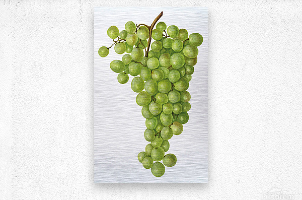 Green Grapes Wall Decor Vintage Botanical Poster Kitchen Art  Metal print