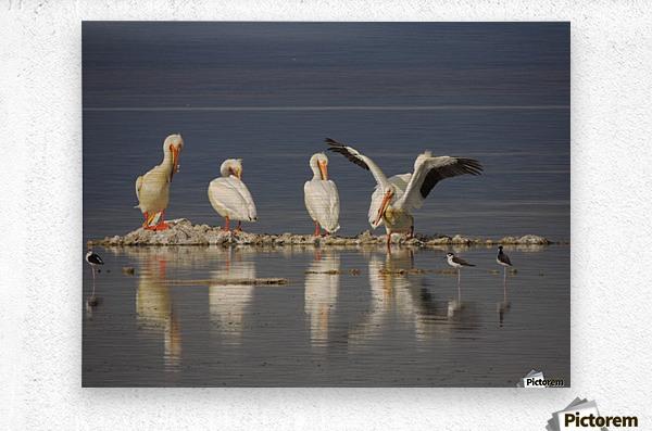 Pelican Reflections 2  Metal print