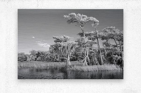 Blue cypress trees horizontal  Metal print