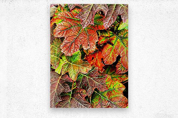Oak Leaved Hydrangea In Autumn  Metal print