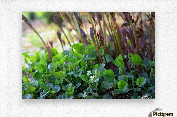 White sweet violets and peony sprouts  Metal print
