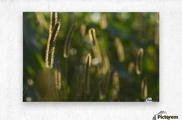 Glowing field grass  Metal print