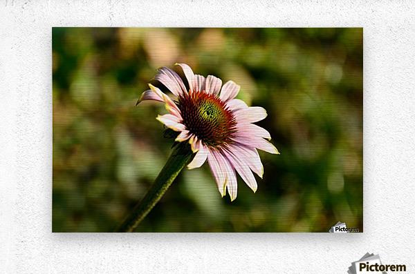 Autumn Echinacea  Metal print