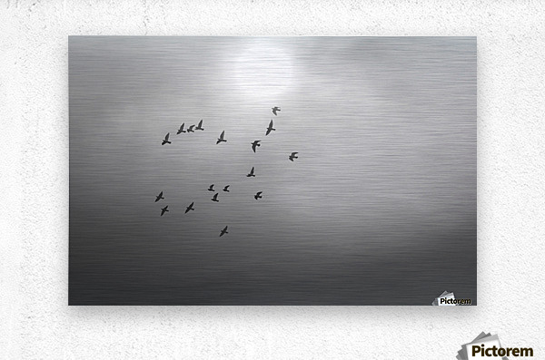Doves daily flight routine  Metal print