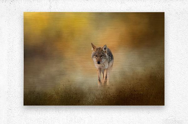Strolling Coyote  Metal print