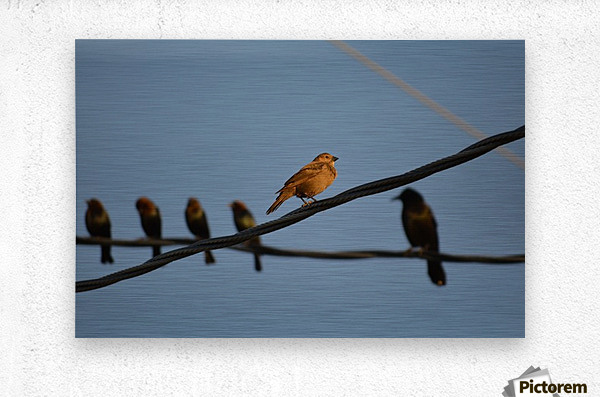 Birds on the Wires  Metal print