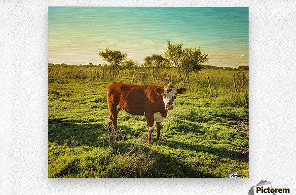 Cow in the Field Watching the Camera  Metal print