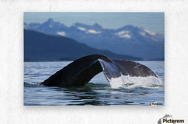 A Humpback whale lifts its flukes as it returns to the depths to feed in the bountiful waters of Alaska's Inside Passage, Tracy Arm in the distance, Stephens Passage, near Juneau.  Metal print