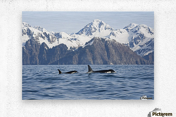 killer whale, or orcas, Orcinus orca, cow and calf swimming in Resurrection Bay, Kenai Fjords National Park, outside Seward, southcentral Alaska, spring  Metal print