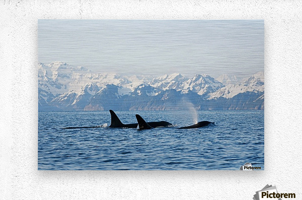 killer whale, or orcas, Orcinus orca, pod in traveling in Resurrection Bay, Kenai Fjords National Park, outside Seward, southcentral Alaska, spring  Metal print