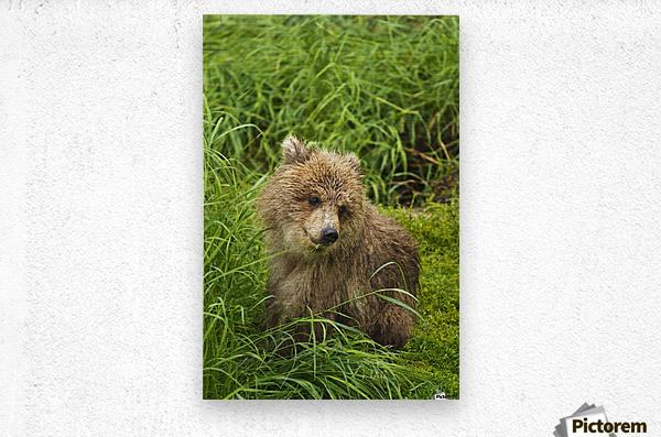 Brown bear (Ursus arctos) cub close-up, sitting in grass, Katmai National Park and Preserve, Southwest Alaska, USA  Metal print