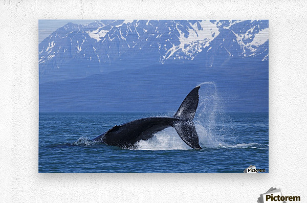A Humpback Whale calf frolicks in Lynn Canal near Berners Bay, Inside Passage, Alaska  Metal print