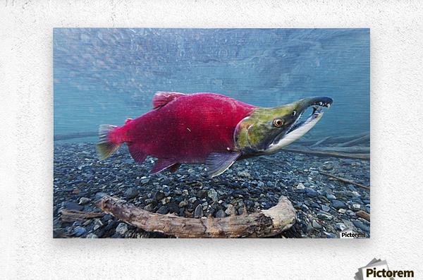 Underwater view of a male Sockeye Salmon in Power Creek near Cordova, Southcentral Alaska  Metal print