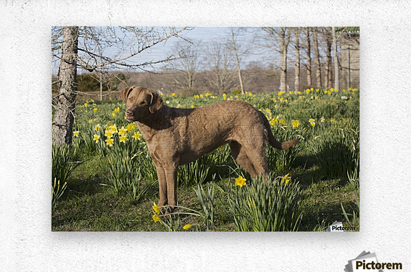 Female Chesapeake Bay retriever in daffodils; Waterford, Connecticut, USA  Metal print