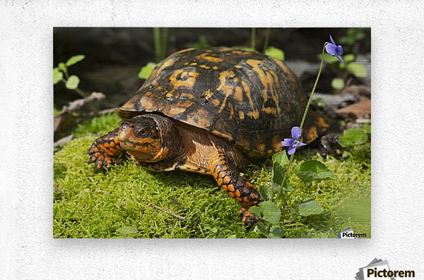 Eastern box turtle on sphagnum moss among blue violets; Connecticut, USA  Metal print