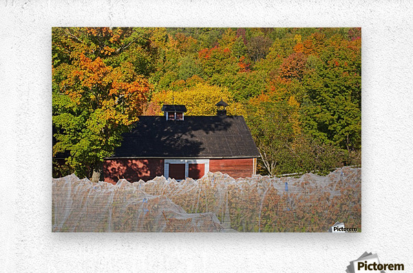 Wine grape vineyard in autumn with bird netting covering the vines to protect the crop shortly before harvest; Knowlton, Quebec, Canada  Metal print