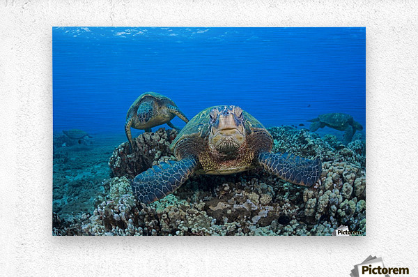 Several green sea turtles (Chelonia mydas), an endangered species, gather at a cleaning station off West Maui; Maui, Hawaii, United States of America  Metal print