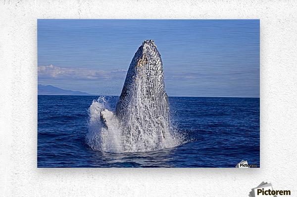 Breaching humpback whale (Megaptera novaeangliae); Maui, Hawaii, United States of America  Metal print