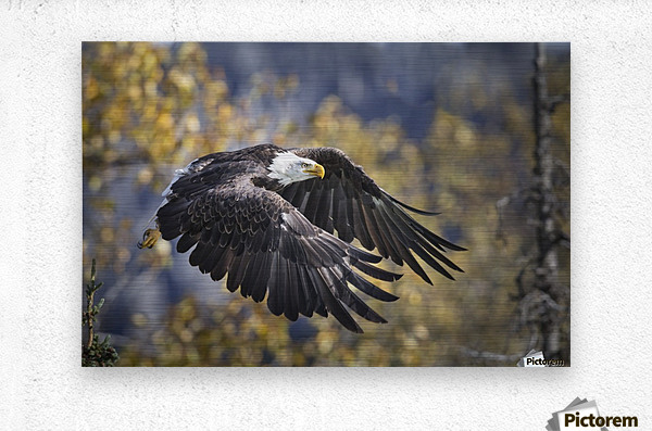 Bald Eagle in flight, Alaska, Autumn  Metal print