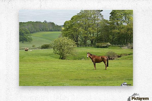 Horse in field; Morpeth, Northumberland, England  Metal print
