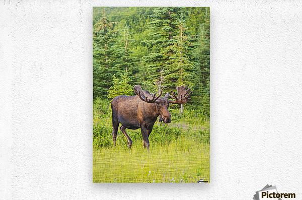 Bull moose in velvet, Kincaid Park, Anchorage, Southcentra Alaska, summer  Metal print