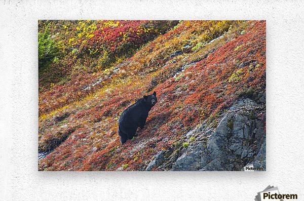 Black bear (Urus Americanus) standing on a colorful autumn hillside, Kenai Fjords National Park, Southcentral Alaska  Metal print