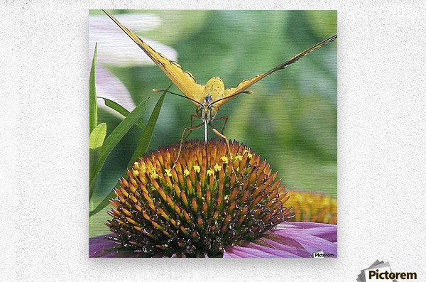 Butterfly on cone flower  Metal print