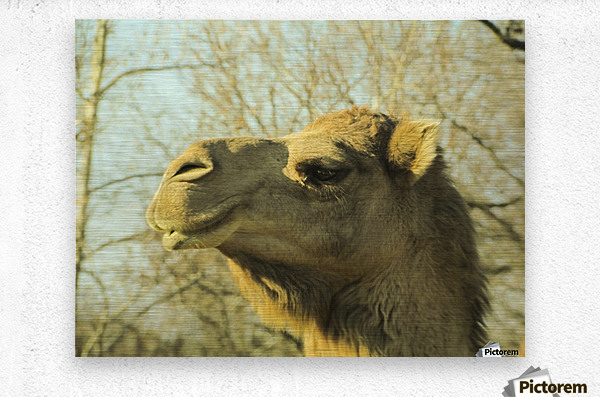 Aribian Camel  Metal print